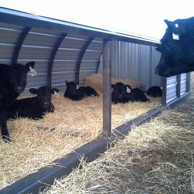 Calf Shelter Common Sense